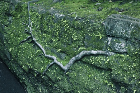 powerful tree root crawls on old mossy stone wall  photo