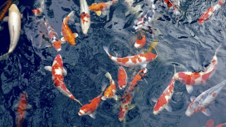 red koi, Japanese carp fishes in zen pond waiting for food photo