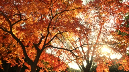 low autumn sun shines under bright Japanese maple trees  photo