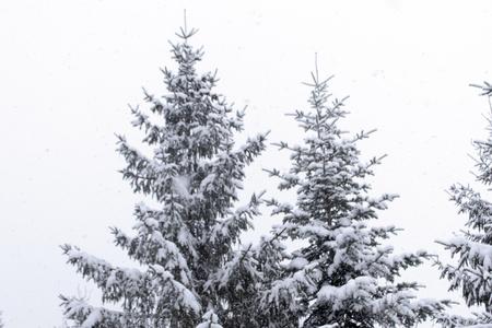 fir trees in heavy snowfall Stock Photo - 14718889