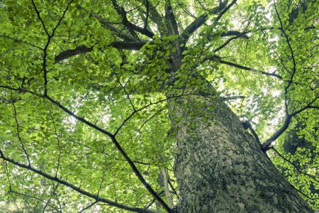 giant and powerful ginkgo tree grow up by summer time Stock Photo - 15222280