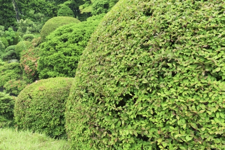 trimmed: well trimmed bushes in fresh summer garden; focus on front bush leafs