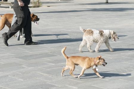 unidentified: identificado paseador de perros en la calle de la ciudad con tres perros Foto de archivo