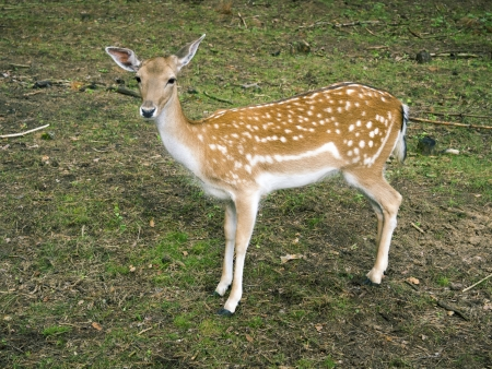 piebald: piebald deer calf in summer forest