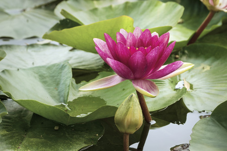 lobe: beautiful pink lotus in Japanese pond with focus on flower