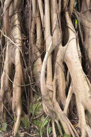 aerial roots: strong aerial roots of giant ficus tree in tropical forest