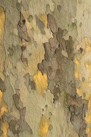 プラタナス: 大きなプラタナスの木の樹皮の詳細なパターン