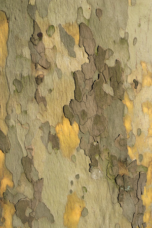 sycamore: detailed bark pattern of big sycamore tree
