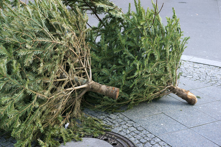 the thrown: dead Christmas trees thrown away on the city pavement