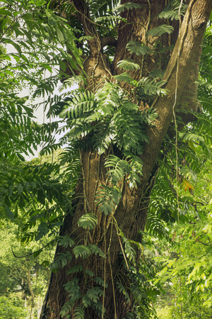 twined: huge tree trunk twined with various tropical plants