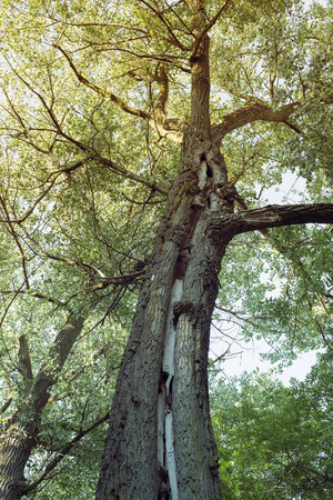 crack willow: huge willow tree with big crack along trunk Stock Photo