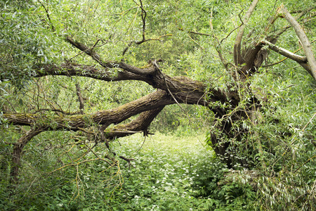 huge tree: old huge broken willow tree between bog flowers and plants