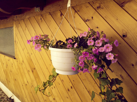 hanged: hanged white pot with blossom flowers close to the building wall