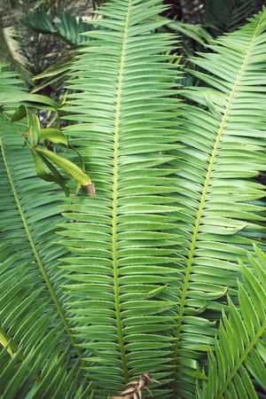 big leafs: big fresh green leafs of tropical plants by sunny day