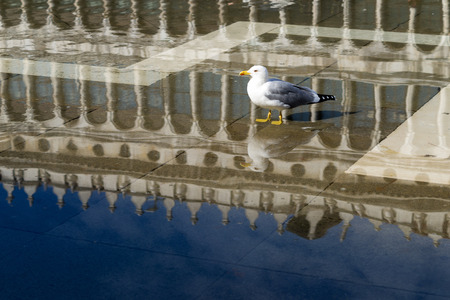 staying in shape: sea seagull stay in the puddle from the sea tide on the famous St. Marks Square in Venice
