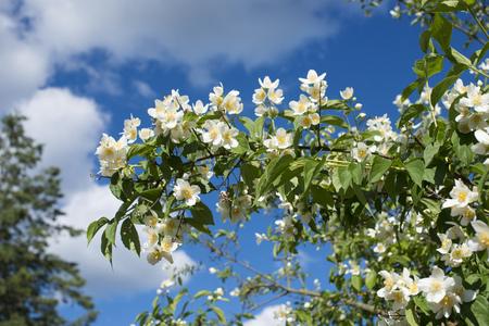 jasmine bush: wild Jasmine bush blooming by summer Stock Photo