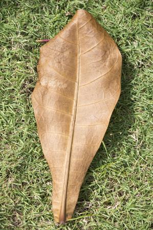 huge tree: huge dry leaf of tropical tree on grass meadow Stock Photo