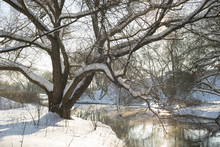 huge tree: huge willow tree on the river shore by winter