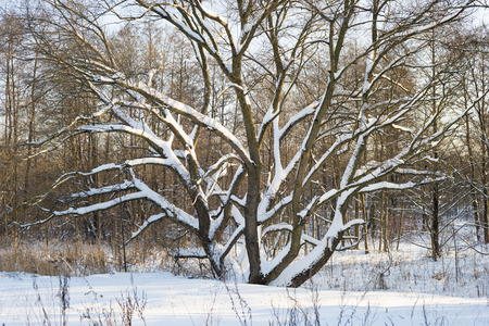 huge tree: landscape with huge winter tree in deep fresh snow