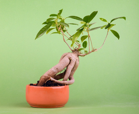 small fig tree bonsai on green background