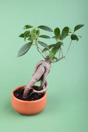 small fig tree bonsai in ceramic pot on green background
