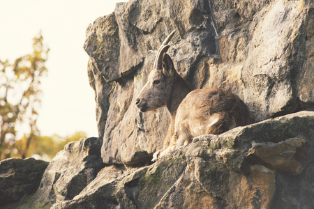 wild goat: wild goat resting on stone rock by autumn evening