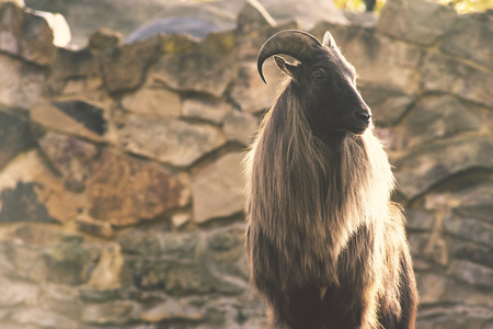 wild goat: wild goat standing in front of huge mountain rock