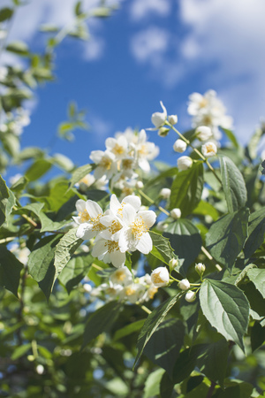fresh white flowers blossom jasmine bush with focus on front petals Stock Photo
