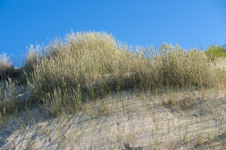 Curvy wild grasses on sand dunes over blue sky