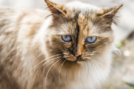 pluizige kat met helder blauw oog dat recht kijkt