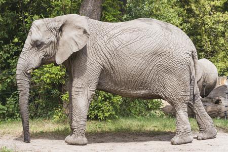 big elephant near tree in the zoo Stockfoto