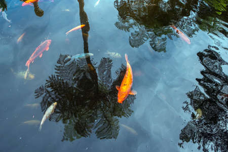 zen pond waters with palm tree reflection and red koi fishes