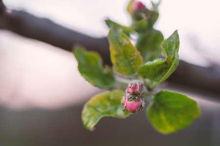 fresh apple tree bud closeup by springtime