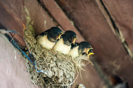 chicks swallows call for feed in nest under village house roof
