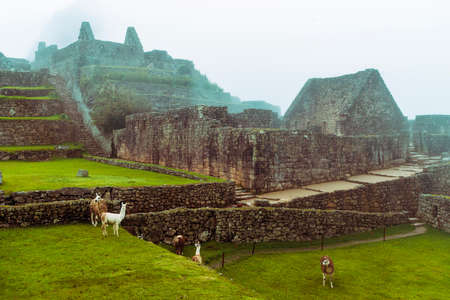 many lamas at ruins of Machu-Picchu site by rainy day in Peru