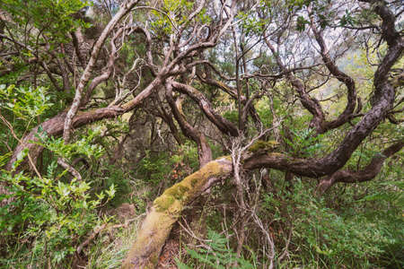 curved branches and stems in indigenous forest of Madeira Island