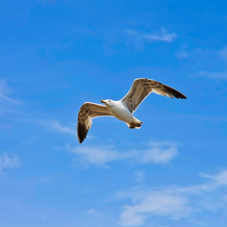 wingspread: A seagull, soaring in the blue sky Stock Photo