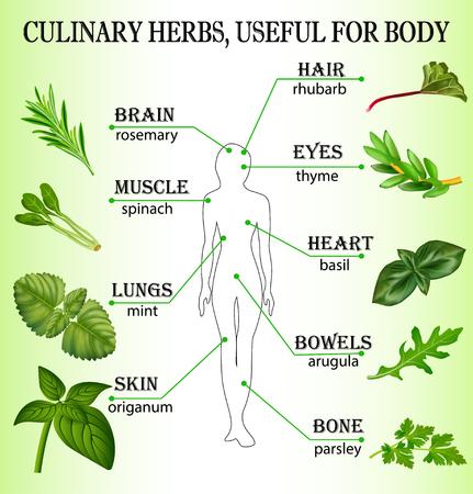 Illustratie van culinaire kruiden nuttig voor het lichaam