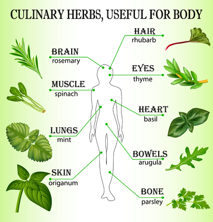 rhubarb: Illustration of culinary herbs useful for the body