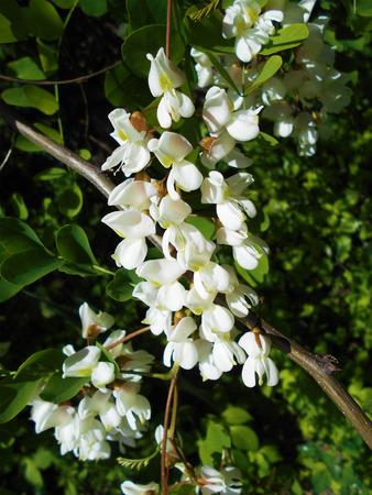 Acacia Фото со стока