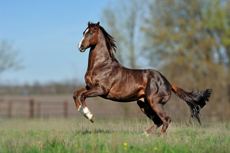 English thoroughbred horse jumping on the beautiful background of the field   photo