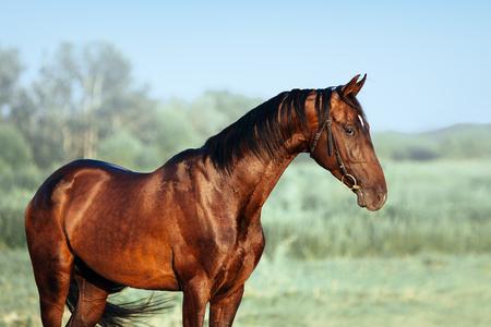 Beautiful portrait of Akhal-Teke stallion. Horse with swan neck