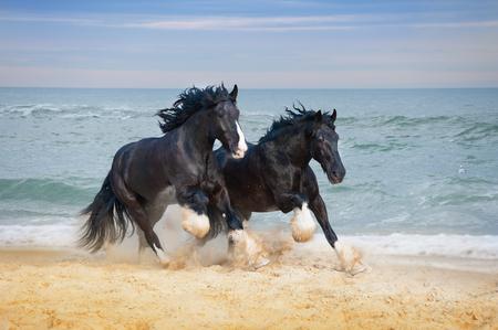 Due bei grandi cavalli di razza Shire galoppano lungo la spiaggia, raccogliendo sabbia contro il mare blu. Archivio Fotografico - 72378958