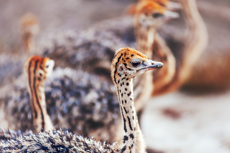 ostrich chick: Portrait of a baby ostrich. Group of ostriches