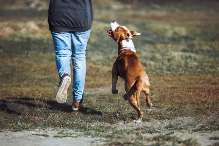 Een jonge hond van het ras American Staffordshire Terrier rijdt langs een man en kijkt in de ogen. Onderwijs saboki, contact, training in de lucht.