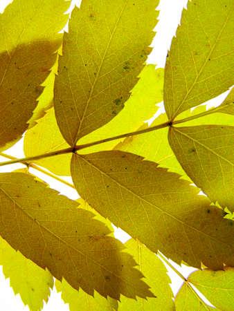 Orange yellow autumn leaves of a mountain ash on a white background, closeup Stock fotó