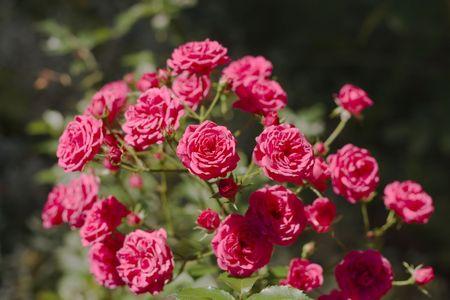 rose bush: rose bush, shallow DOF
