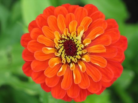 zinnia: zinnia flower close-up Stock Photo