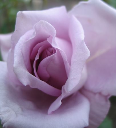 lilac rose  close-up Stock Photo - 406399