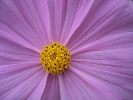 gaudy: blooming lilac flower, detailed